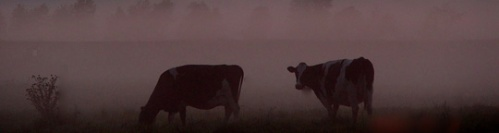 Cow_grazing_fog